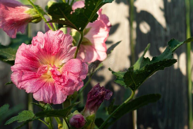 Rosa stockrosblomma mot trästaketet royaltyfri fotografi