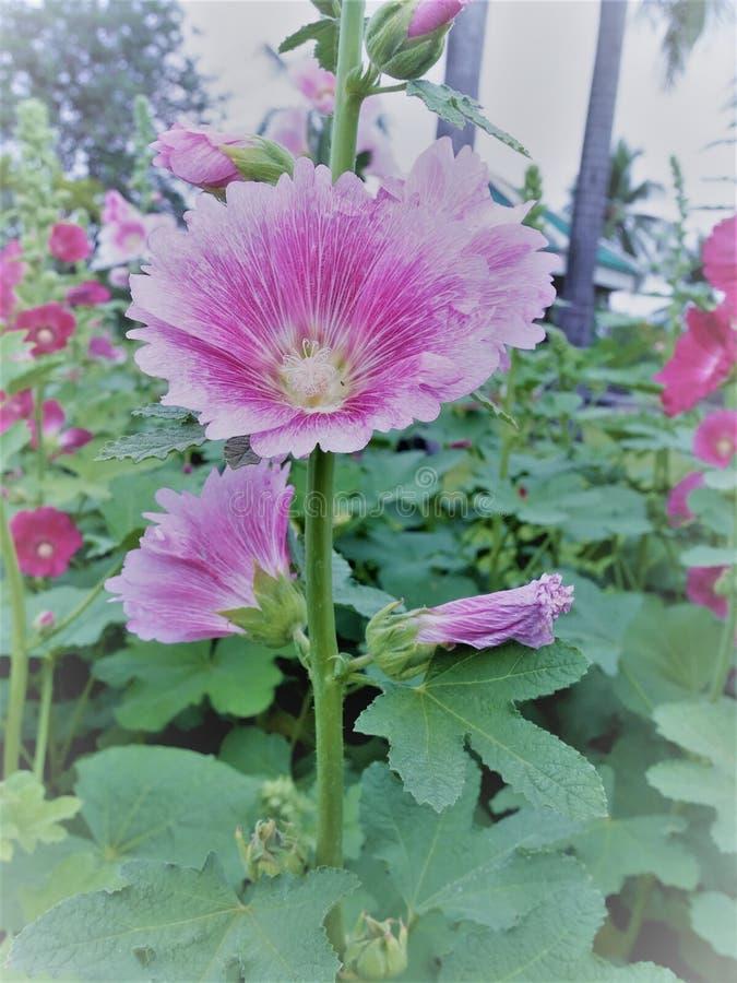 Rosa Stockrosen flowersor Althaea-rosea Blume blüht an einem Sommertag im Garten stockbild