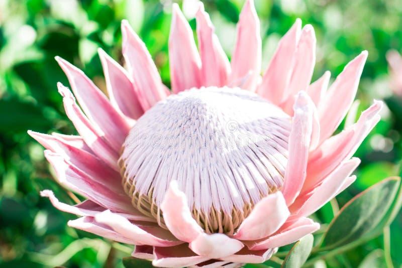 Rosa stor Protea som är öppen i solen arkivbilder