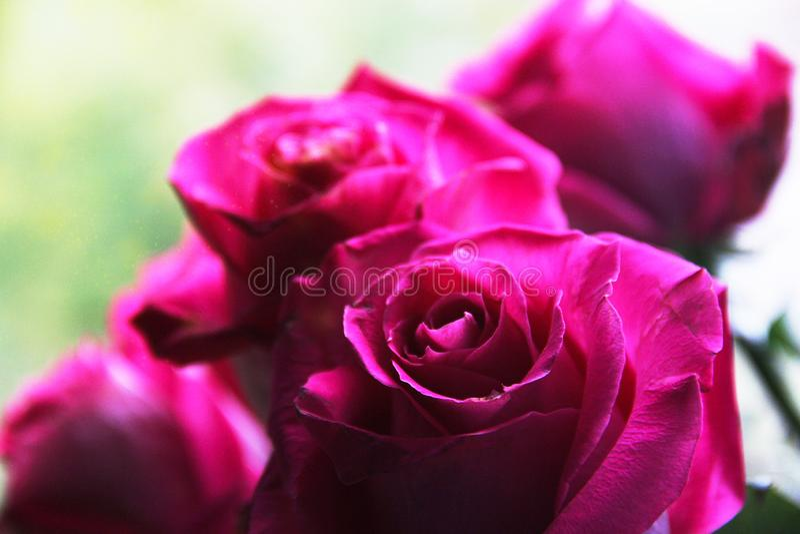 Rosa stora rosa knoppar arkivbilder