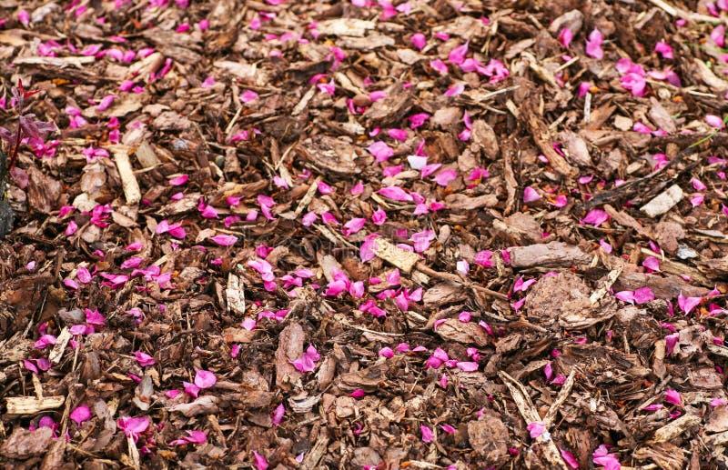 Rosa stupat för kronblad på komposttäckning täckte jordning arkivbilder