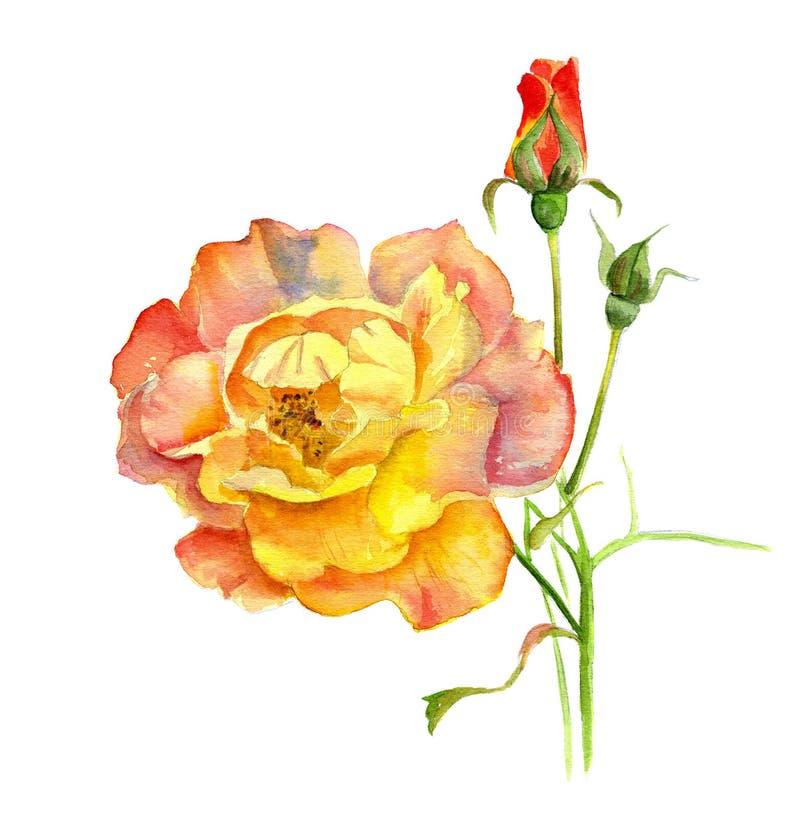 Rosa su un ramo con un germoglio, pittura dell'acquerello immagine stock