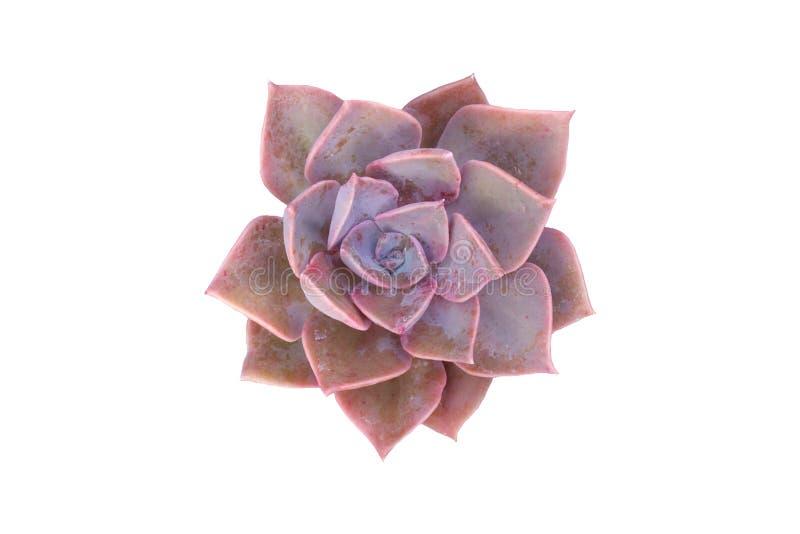 Rosa Succulent stockfoto