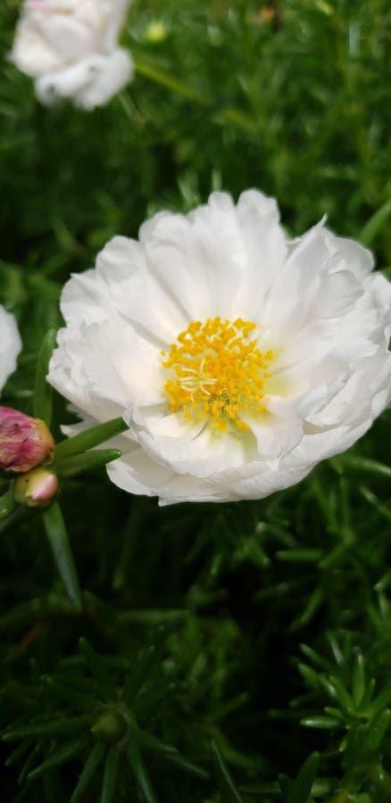Rosa suculento do branco de jardim imagens de stock royalty free