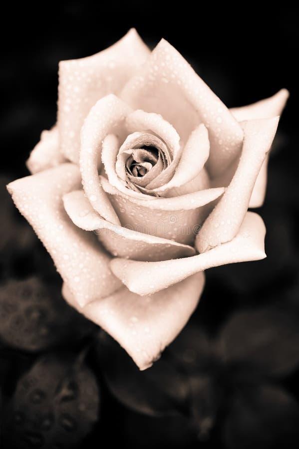 A rosa suja do rosa com água deixa cair no backgr gótico do estilo do vintage foto de stock royalty free