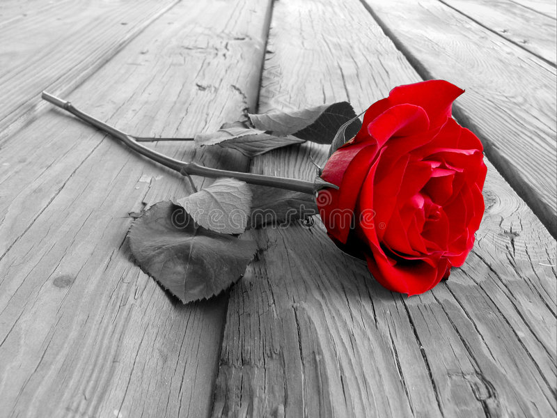 Rosa sul BW di legno immagine stock