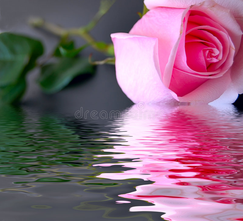 Rosa sul nero immagine stock