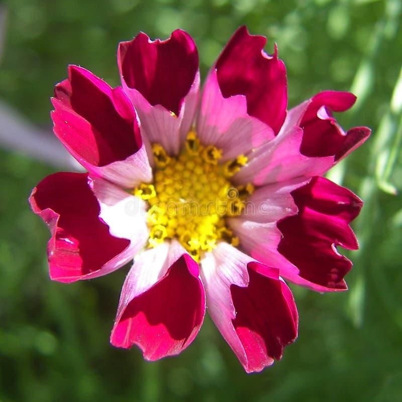 Rosa Taschen-Blume stockbild