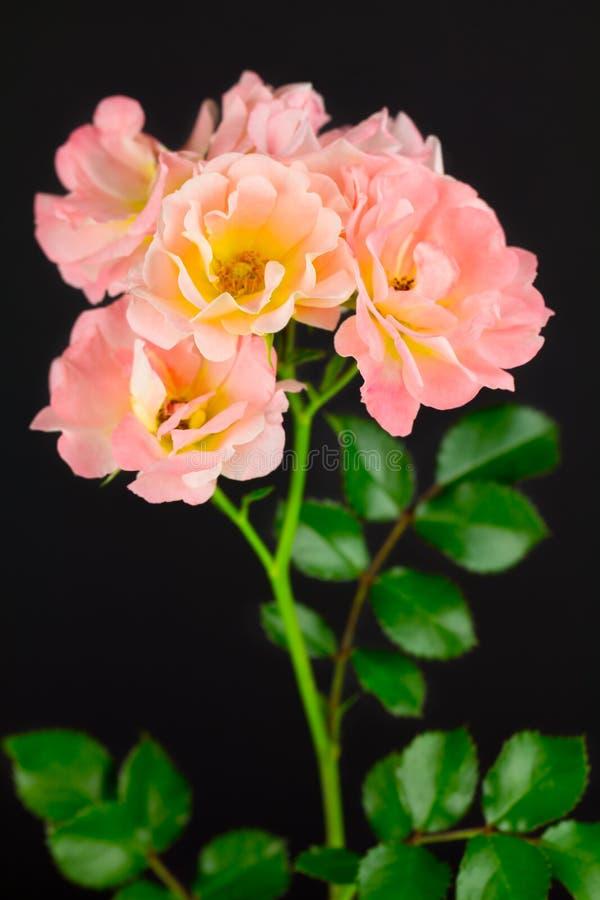 Rosa Teppichrosen auf Schwarzem stockfotos
