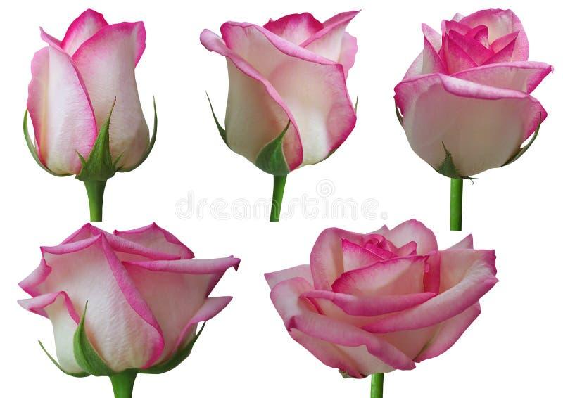 Rosa tillväxtetapper royaltyfri illustrationer
