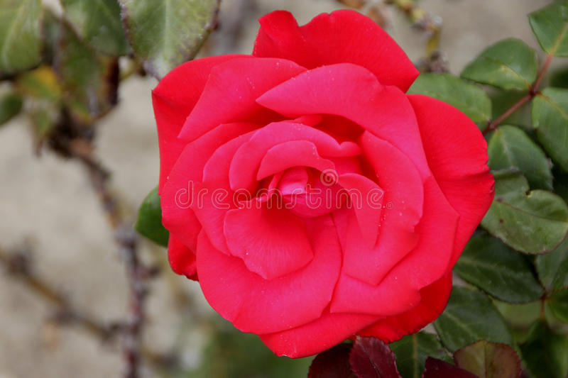 Rosa 'Timeless'. Hybrid Tea Rose with dark semiglossy leaves and slightly fragrant, double pink to red showy flowers from early summer to late fall stock photo