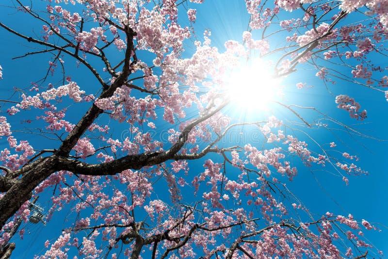 Rosa träd för körsbärsröd blomning som blommar med dess blomma royaltyfria bilder