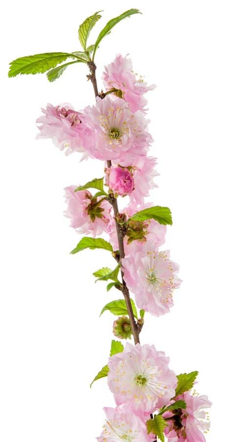 Rosa träd för mandel för vårblommablomning på filial med gröna sidor som isoleras på vit bakgrund arkivfoto