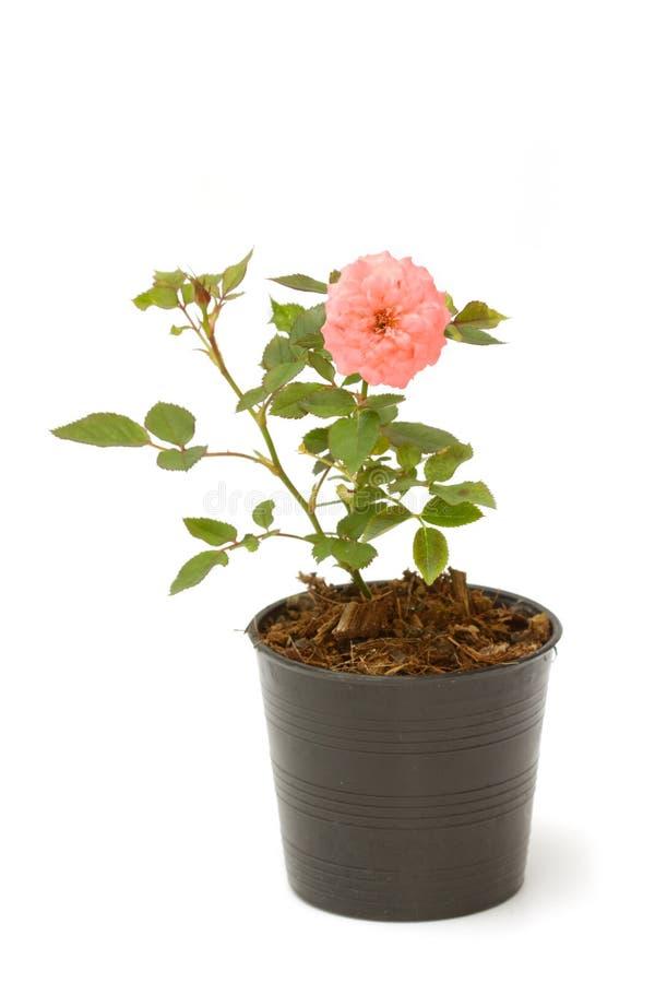 Rosa träd i en kruka arkivfoto