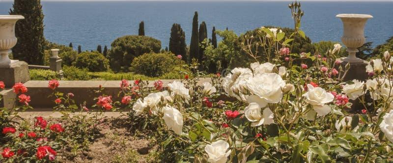 Rosa trädgård av vita och röda rosor på den sydliga terrassen av den Vorontsov slotten crimea royaltyfri bild