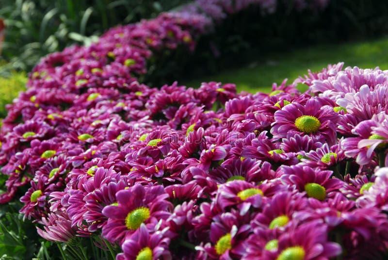 Rosa trädgård för tusenskönablommabuske royaltyfria foton