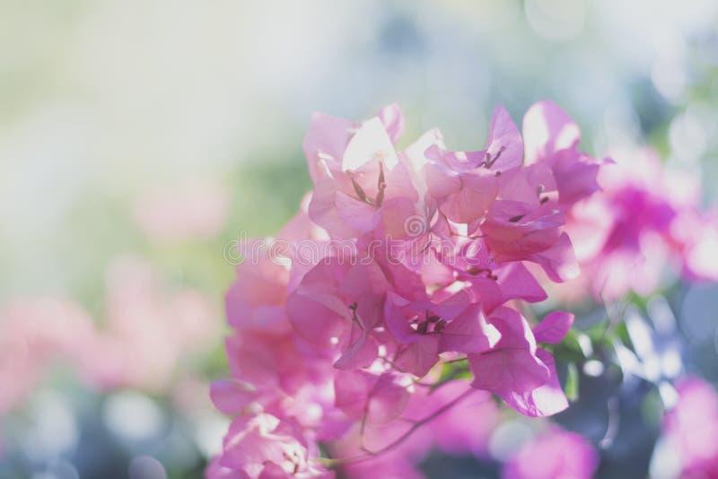 Rosa träumerische Blumen in Costa Rica stockbilder
