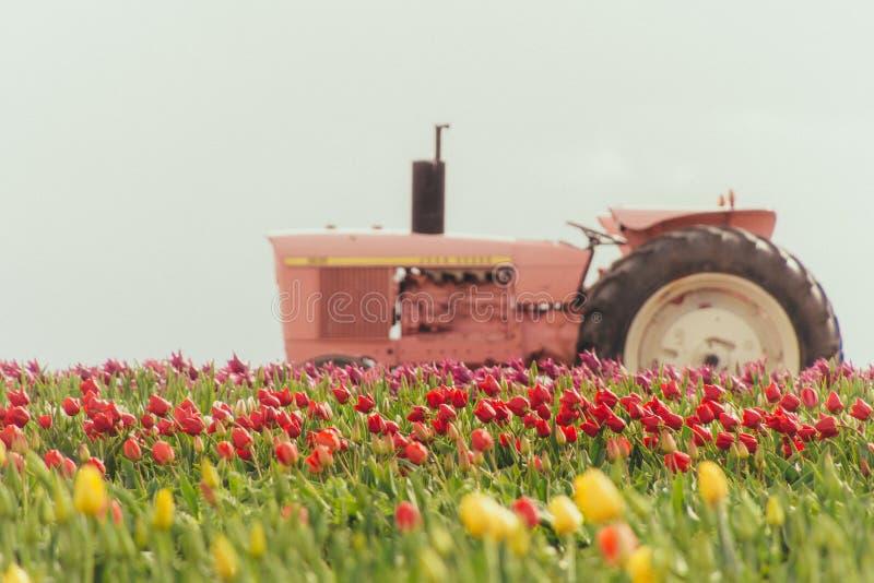 Rosa traktor i ett fält mycket av härliga färgrika tulpan arkivfoto