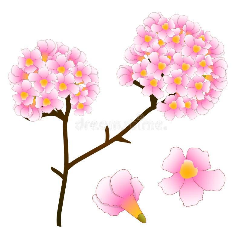 Rosa Trompeten-Blumen-Baum Getrennt Auf Weißem Hintergrund Auch Im ...