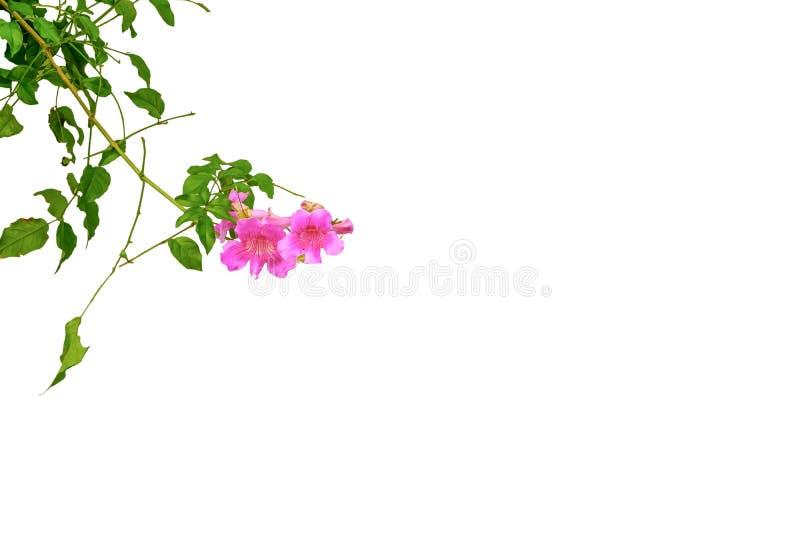 Rosa Trompeten-Rebblüten auf lokalisiertem weißem Hintergrund lizenzfreies stockbild