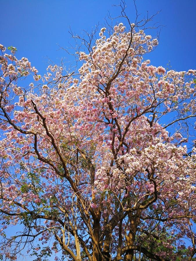 Rosa Trompetenbaum-Blumenblühen lizenzfreie stockfotografie