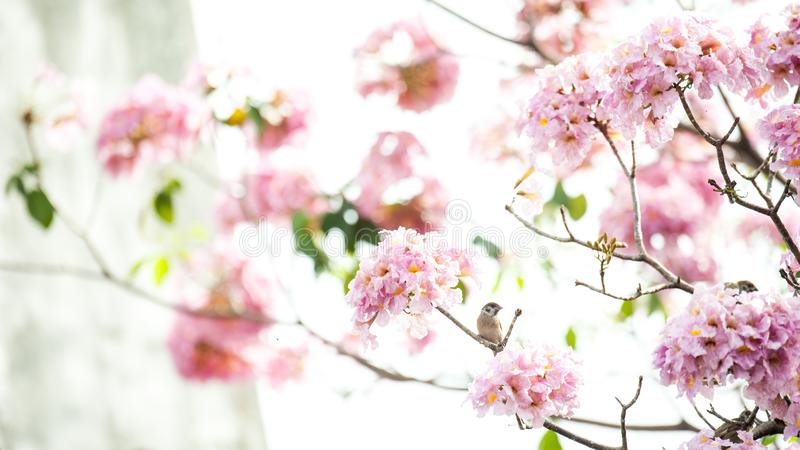 Rosa Trompetenbaum oder Tabebuia-rosea; frische rosa Blumen und gree lizenzfreie stockfotos