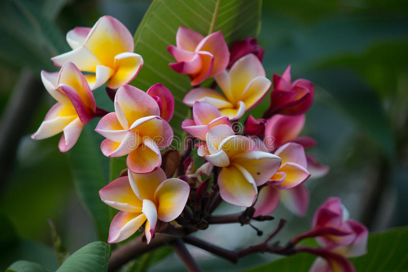 Rosa tropisk blommaFrangipani, Plumeria i trädgård royaltyfri foto