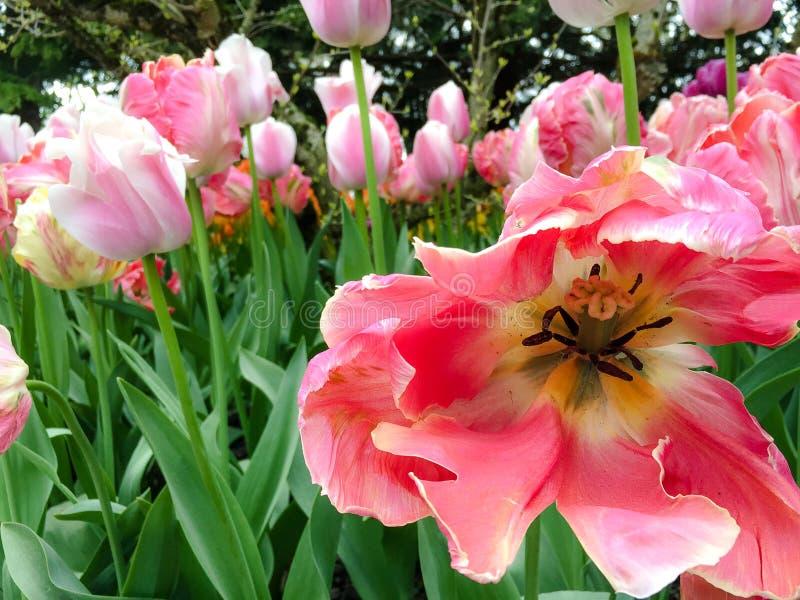 Rosa Tulip Center arkivfoto