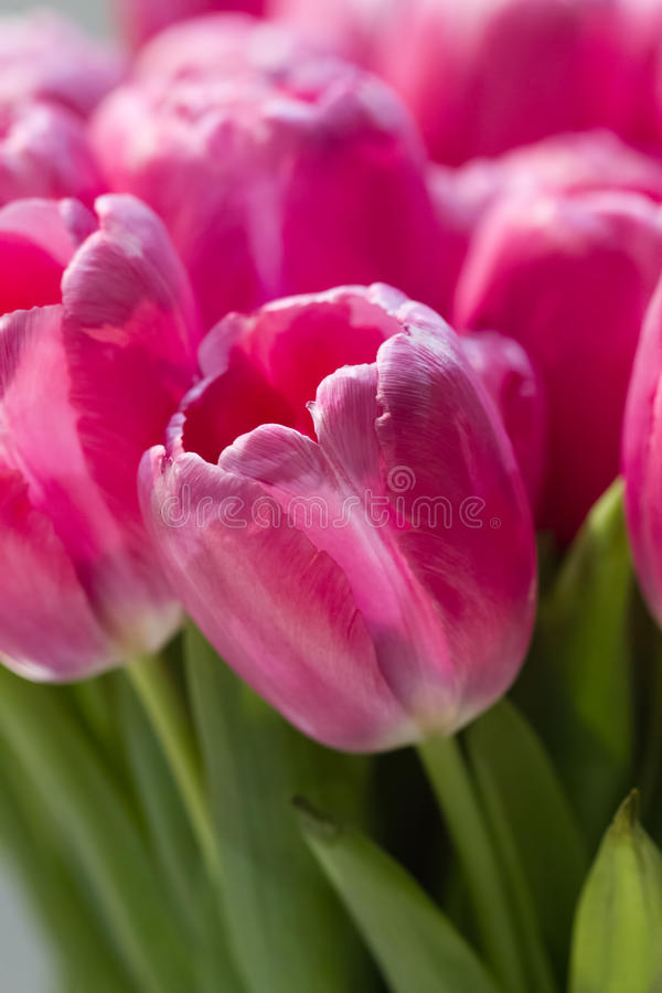 Rosa Tulip Garden Photo Art fotografering för bildbyråer