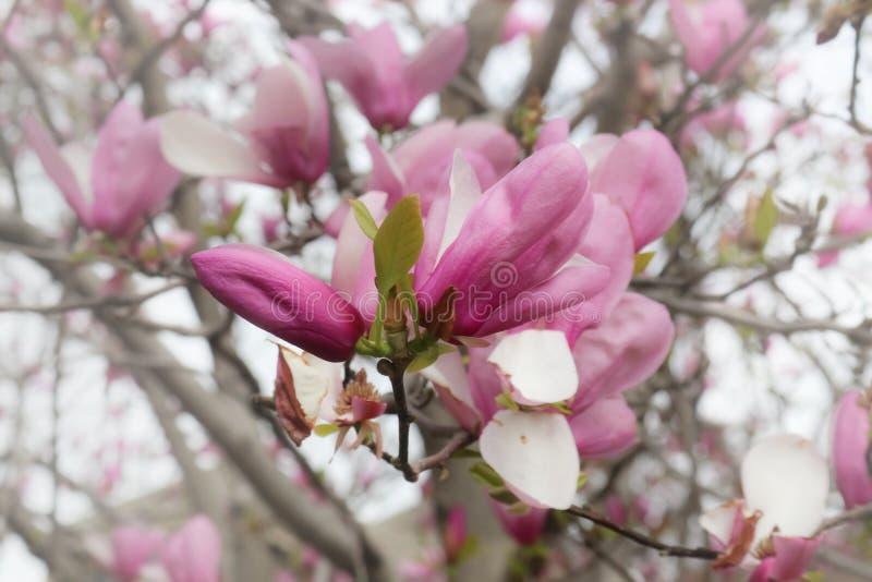 Rosa Tulip Tree i blom med mjuk suddig bakgrund royaltyfri bild