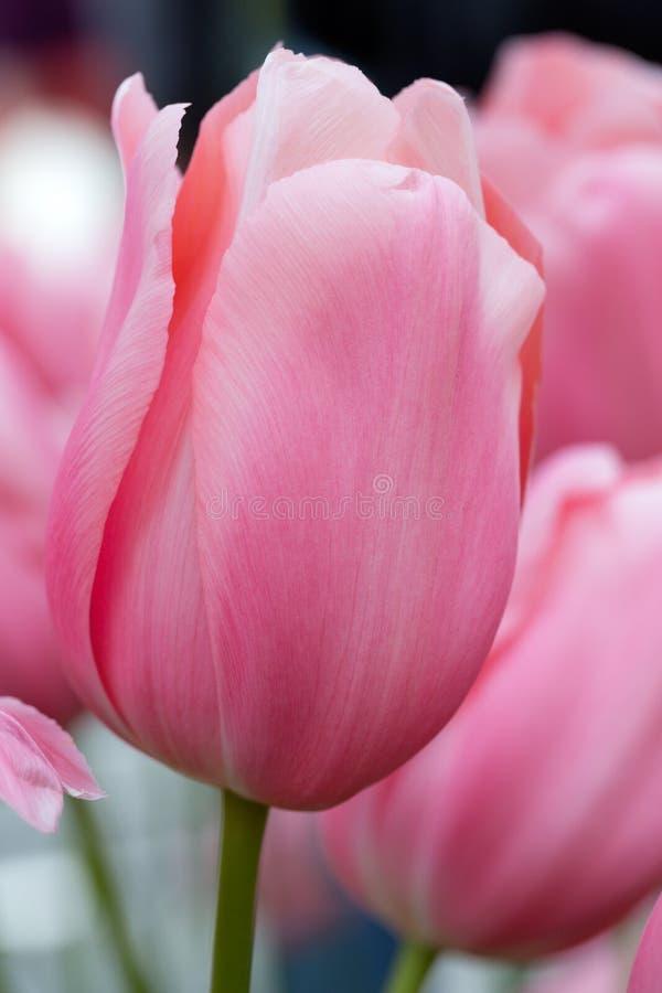 rosa tulpan för closeup royaltyfri bild