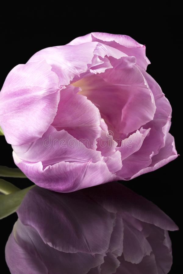 Rosa tulpan för enkel vårblomma som isoleras på svart bakgrund, slut upp arkivfoto