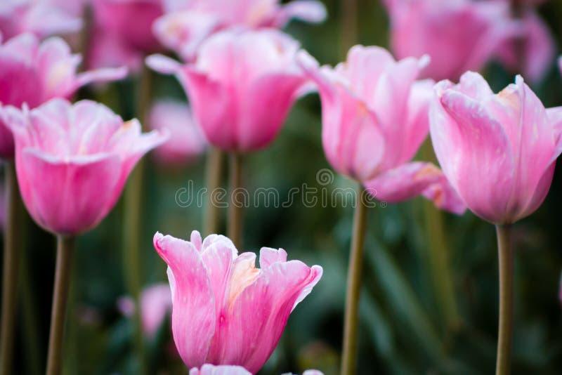 Rosa tulpan i blom på tulpanfestivalen i Holland Michigan royaltyfri fotografi