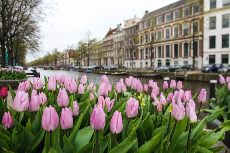 Rosa tulpan i förgrunden med en typisk kanal och arkitektur av Amsterdam, Nederländerna royaltyfria foton