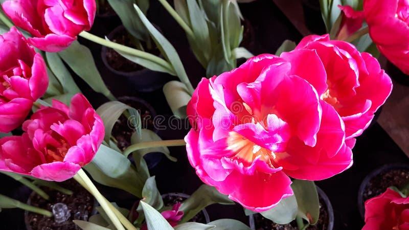 Rosa tulpan i trädgården royaltyfria bilder