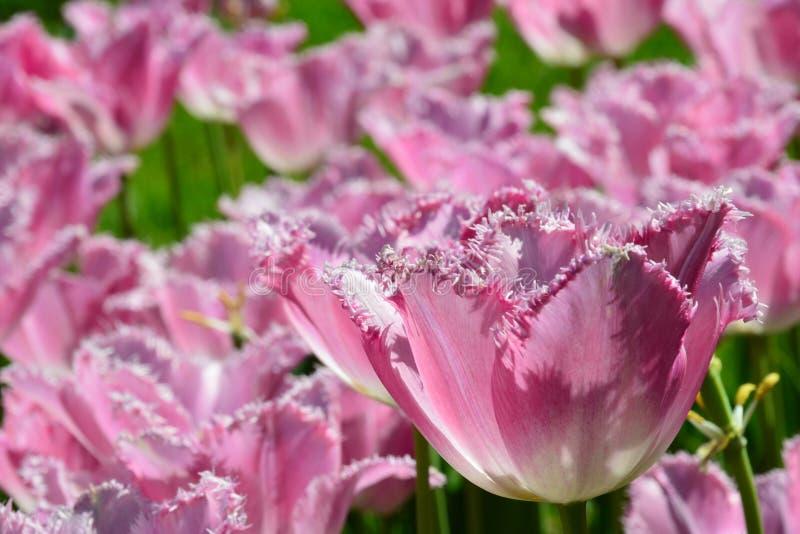 Rosa tulpan med den satte fransar på oavkortade blomningen för kronbladkanter under vårsäsong arkivfoton