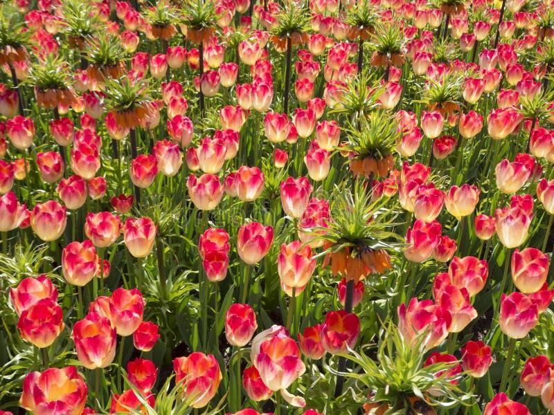 Rosa tulpan med imperialistiskt för krona i trädgård fotografering för bildbyråer