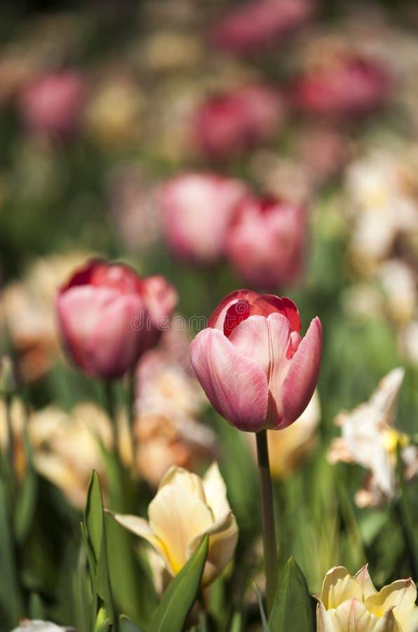 Rosa tulpan med många färgblommor på en bakgrund arkivbild