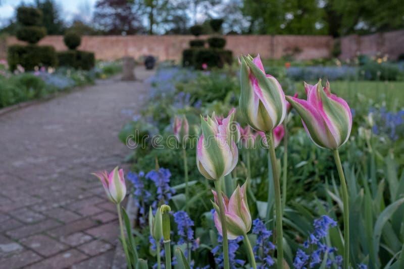 Rosa tulpan och en variation av lösa blommor inklusive blått glömma-mig-nots i Eastcote husträdgårdar, UK, historisk walled trädg royaltyfri fotografi