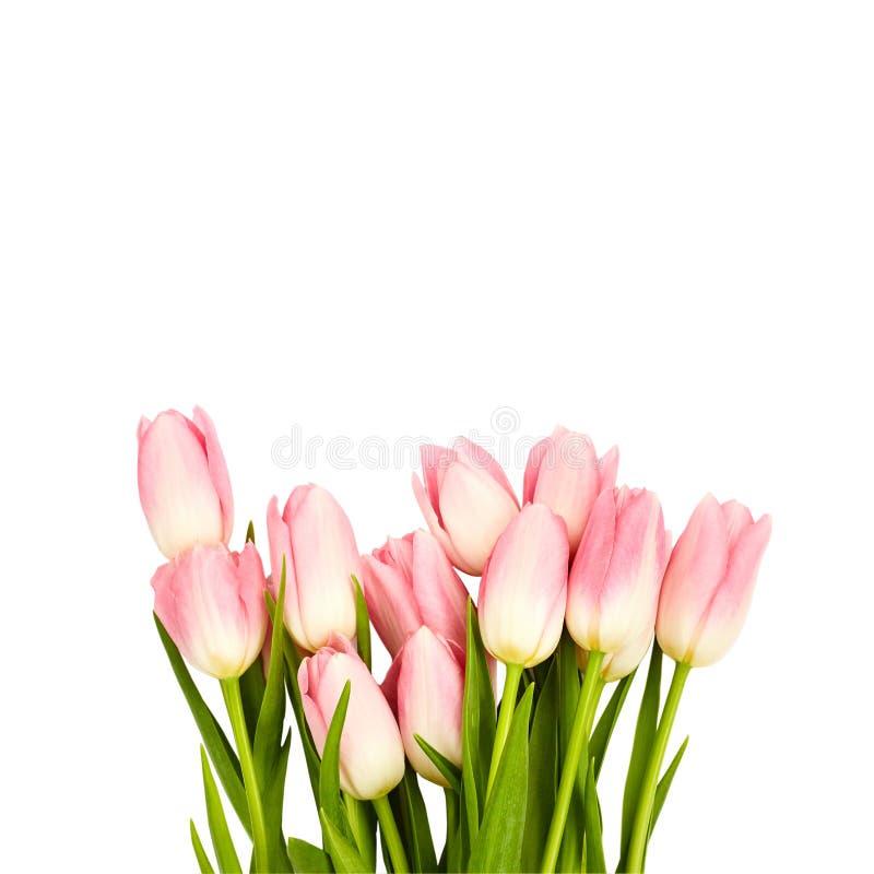 Rosa tulpan som isoleras över vit bakgrund arkivfoto