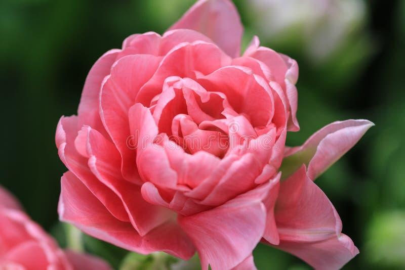 Rosa tulpan som ser nästan som en ros royaltyfria bilder