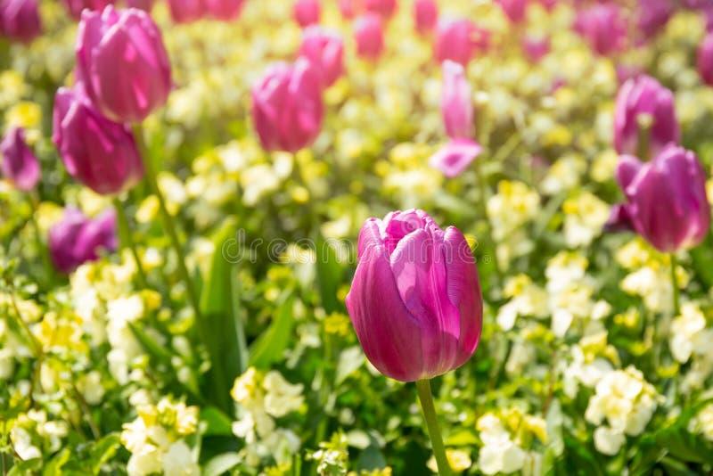 Rosa tulpanblomma för utvald fokus i trädgården med solljus royaltyfria foton