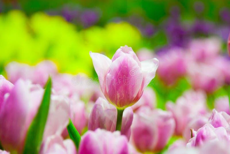 Rosa tulpanblommor fotografering för bildbyråer