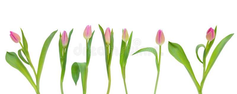 Rosa tulpanblommor för fastställd vår med gräsplansidor som isoleras på vit bakgrund royaltyfri bild