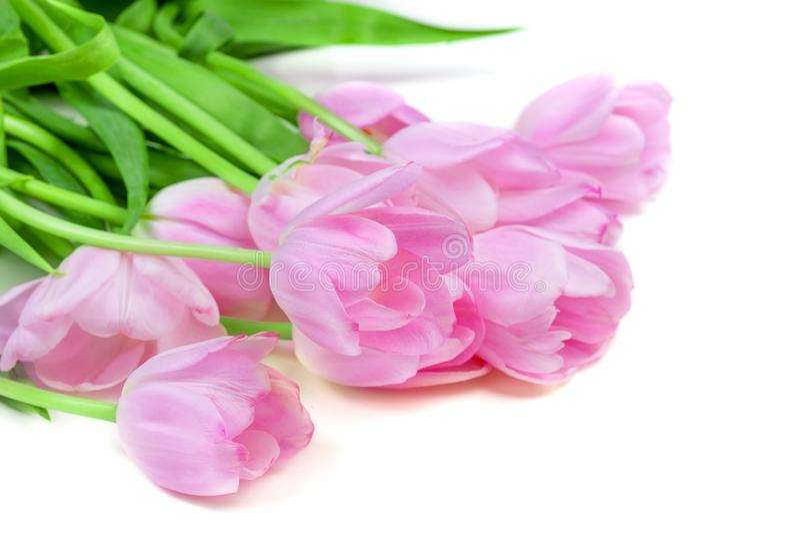 Rosa tulpanblommor som isoleras på vit bakgrund lyckliga easter royaltyfria bilder
