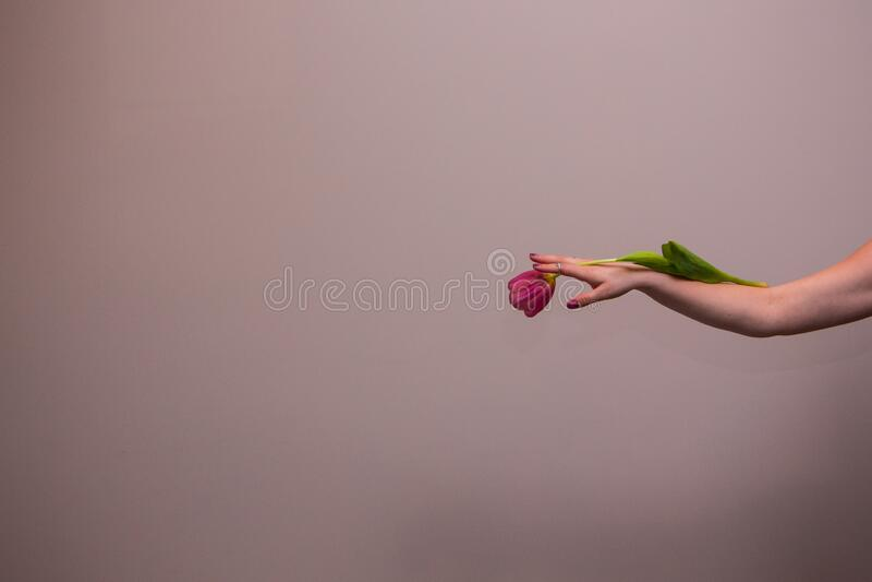 Rosa tulpaner i kvinnans hand royaltyfri bild