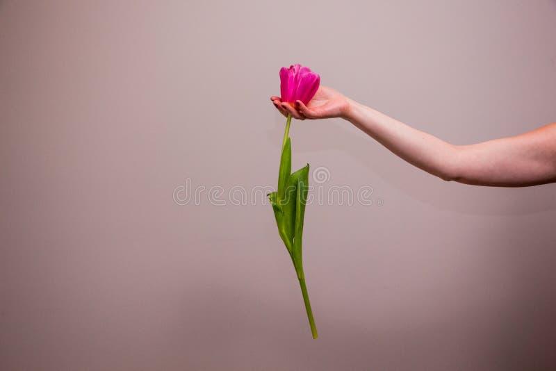 Rosa tulpaner i kvinnans hand fotografering för bildbyråer