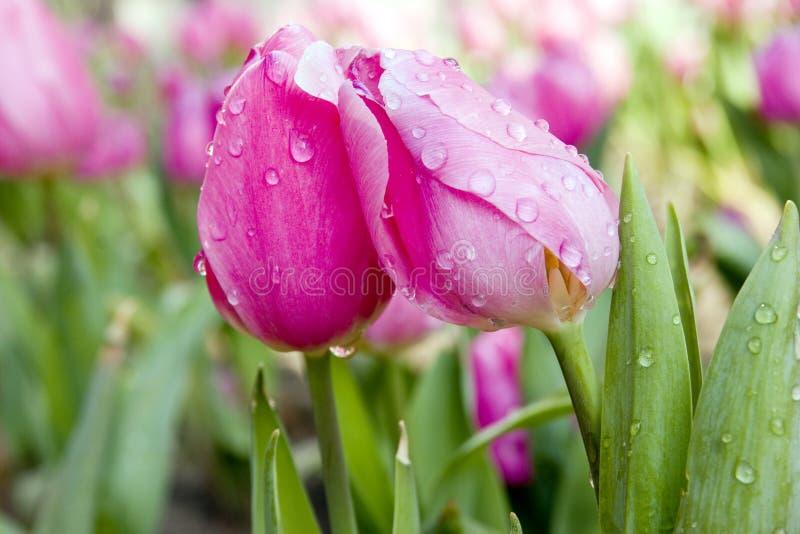 rosa tulpanvatten för droppar royaltyfri bild