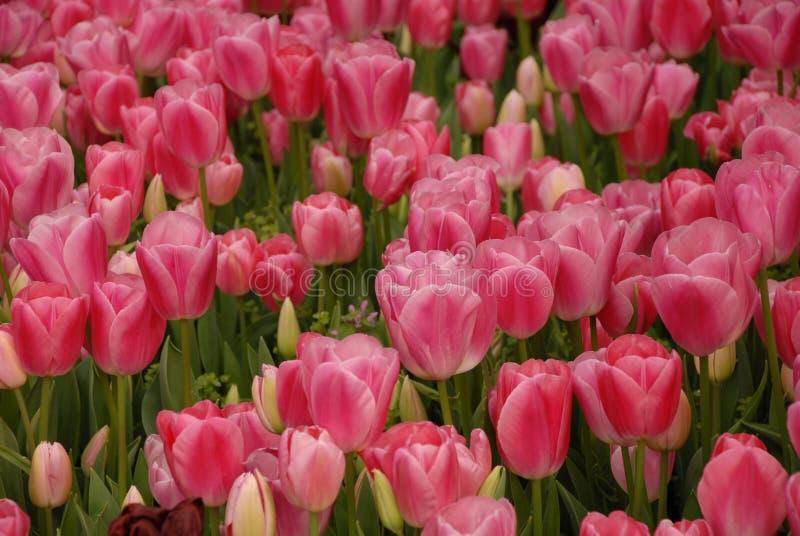 Rosa Tulpe lizenzfreies stockbild