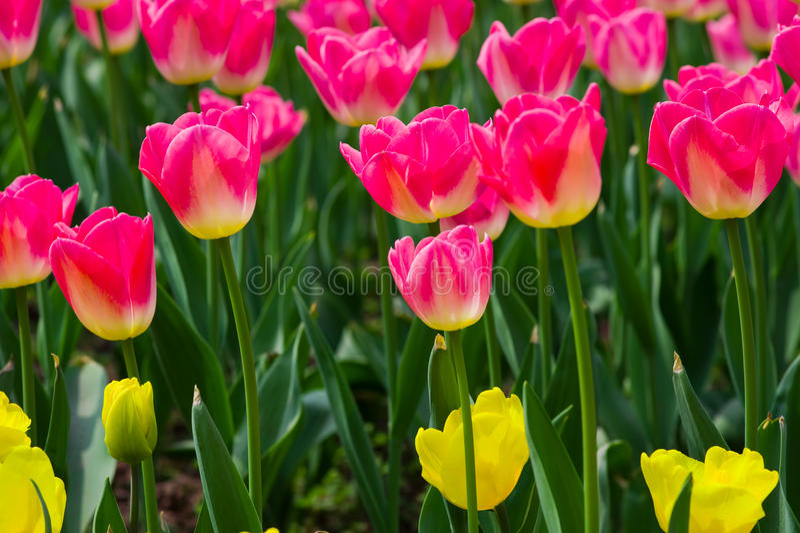 Rosa Tulpe stockbild